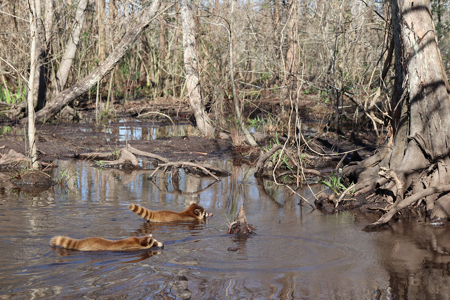 Raccoons in the Louisiana Swamp