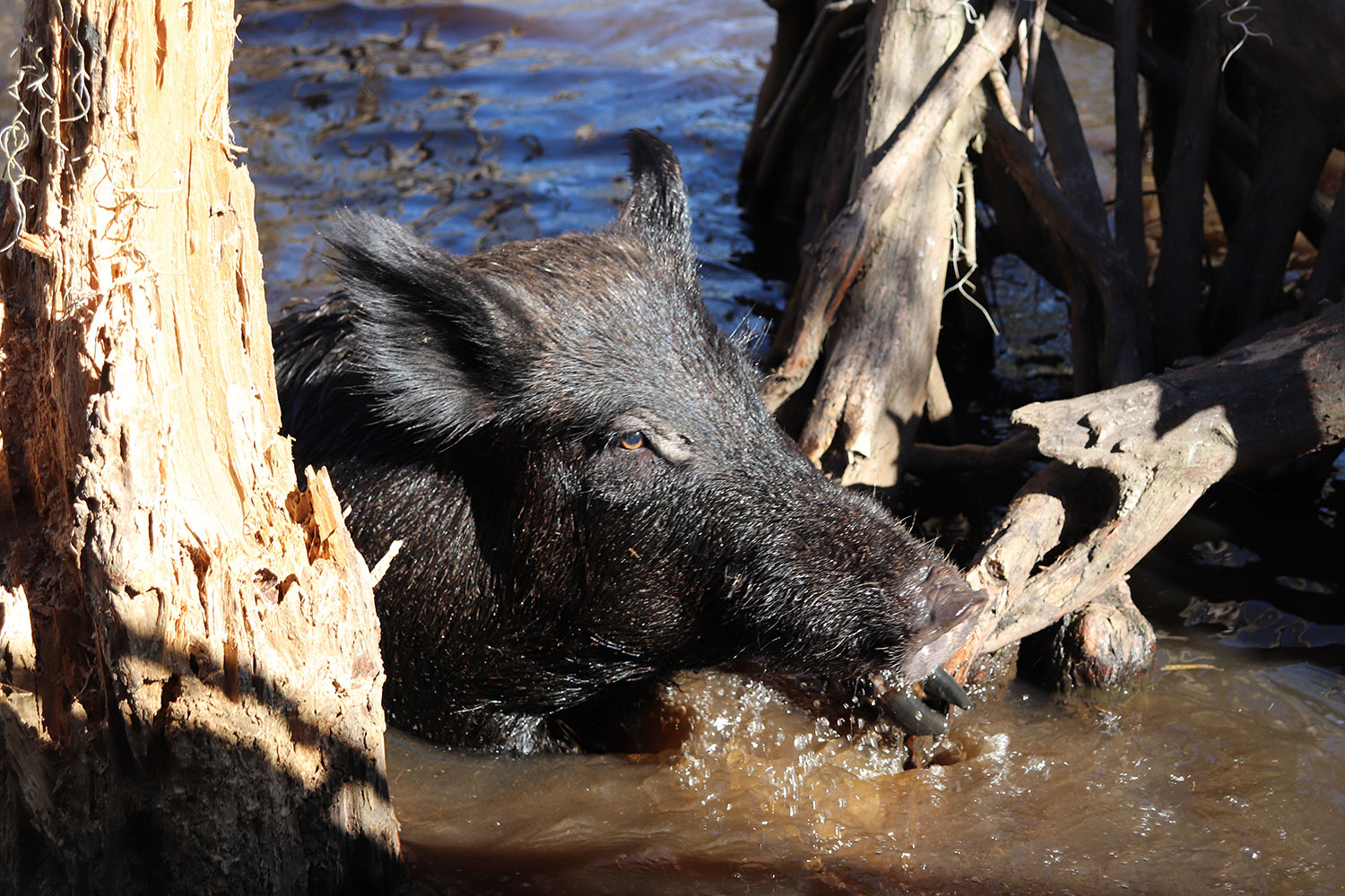 Boar in the Louisiana Swamp