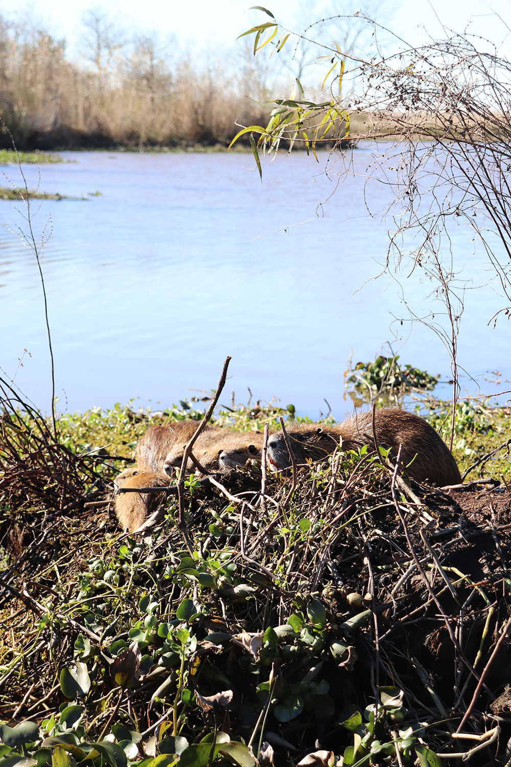 Muskrats in the Louisiana Swamp